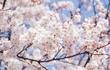 花見といえばやっぱりあれででしょ!北海道の花見の定番とは?!