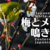 メジロの鳴き声【野鳥図鑑・鳴き声図鑑】Zosterops japonicus White-eye
