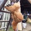 鶏を育てて絞めて捌いて食った