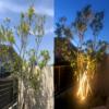 シンボルツリーの定番:地植えした株立ち『シマトネリコ』の成長と開花!ガーデンライトを使ったライトアップ!
