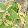 木本の葉の変色および変形