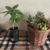 パキラと多肉植物