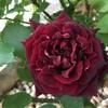 13本のバラの名前💛その1