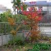 我が家の紅葉 ~その2~