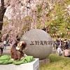 なぜ、猫が桜の見張りをしているのか・・・?
