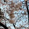 桜がほぼ満開になった堀留町児童公園