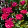 畑の鉢植えのバラについて書きました、その続きです