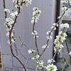 福岡の桜🌸は満開