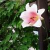 梅雨真っ只中に見かけたピンクのテッポウユリ  〜花言葉も〜