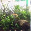 水草ストック水槽トリミング&エビの大集合