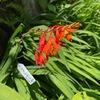 ヒメヒオウギズイセン 鎌倉おんめさま(大巧寺)の境内でみると,我が家で見るよりずっと美しい.そんな気がします.アヤメ科クロコスミアという小さな属の植物.ヒオウギは,植物の名前によく用いられています.「ぬばたま」の実をつけるヒオウギが広くよく知られていますね.ヒオウギとはじめて聞いた時,緋色の扇のことかと思いました.貴族の必須の持ち物「檜扇」.