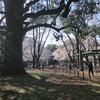 今年の花見 駒場公園&駒場東大