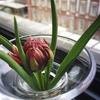チューリップの花が咲きました!