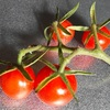 今夏のミニトマト突如終了