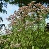 「佐久の季節便り」、「ハナムグリ(花潜)」が、「藤袴(ふじばかま)」の花に…。