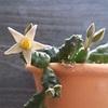 今年は満開の兆し♪ プンクターツスの花【ピアランサス】