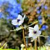 セツブンソウの穴場「栃木市 四季の森星野」は2月中旬~下旬がおすすめ