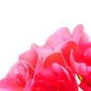 ゼラニウムの花のドアップ写真♪花を家の中に飾る♪