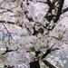 キレイな桜を見て癒やされ、知人の優しさでまた癒やされる