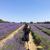 イギリスの夏限定ラベンダー畑 : Mayfield Lavender