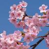 満開の河津桜、馬見丘陵公園 その1