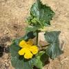 【家庭菜園】キュウリ(夏すずみ)と、おまけのトウモロコシ。