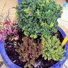 切り花とは違った楽しみ方ができる!ツゲ・冬用ハイデはどのように寄せ植えする?