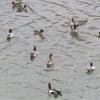 平群町・竜田川の水鳥