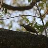 クロヒゲゲラ(Bearded Woodpecker)