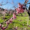 【青春18きっぷの旅】水戸の偕楽園に行って梅を見てきました(3/15)
