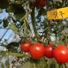 トマト採種始めます。種採り用トマトの作り方は??