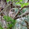 巣を見守るフクロウの親