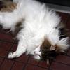 O次郎 猛暑と猫