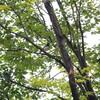 クロツグミ、マミチャジナイ・ノゴマ(大阪城野鳥探鳥 2018/10/27 5:55-11:55)