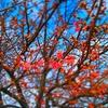 桜咲く #江戸川 #桜