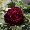 開花ラッシュ…2 いつもの年より何故か黒い
