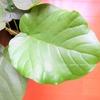 インテリアに大人気の観葉植物、ハート型の葉がかわいい「ウンベラータ」を驚きの価格で手に入れました!