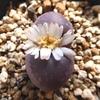 紅大内玉の花