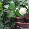 ピエールドゥロンサールが咲きました