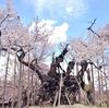 桜とパンの山梨旅(1) 満開の神代桜へ