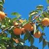 柿の美味しい季節ですね
