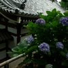 江ノ電 龍口寺の紫陽花