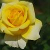 秋の薔薇【その5】