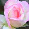バラの接写!グレース・ケリーに捧げられたバラ「プリンセス・ドゥ・モナコ」を撮影
