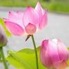第119歩 ハスの花