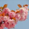八重桜もキレイに咲いてた
