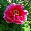 初夏の蔵王風景、アイスコーヒー、ツツジ、芍薬の大輪の花など