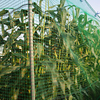 トウモロコシ・エダマメ・ニガウリ・ダイコン(2)・インゲン(2)・キュウリ(2)・モロヘイヤ・シソ等の収穫開始。エン麦を鋤き込みました (^o^)