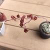 桃太郎(エケベリア)の種を採取しました。初めての実生に向け、第一関門突破!(大袈裟ですね)