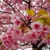 松田山ハーブガーデンの菜の花、桜、開成町瀬戸屋敷のひなまつり!ランチはあしがら翁にて